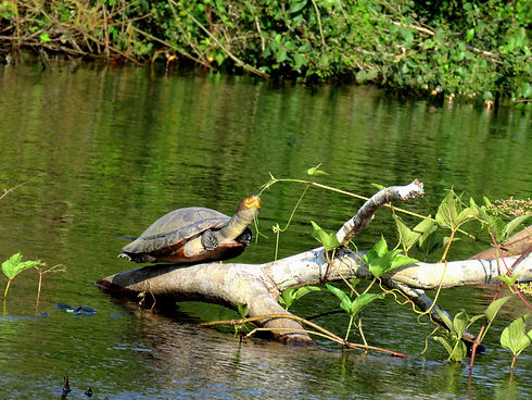 Turtle found in Yacuma River Pampas
