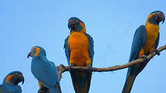 blue-throated macaw in Aguaisal Pampas tour extended