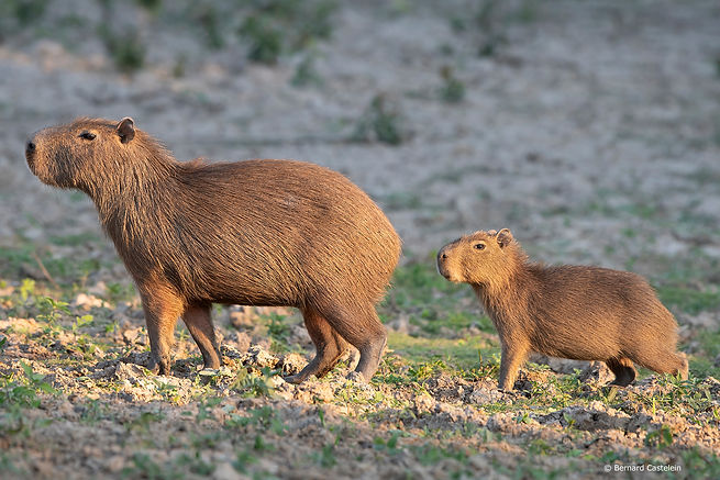 Pampas Tour Capybara wild and free with a baby