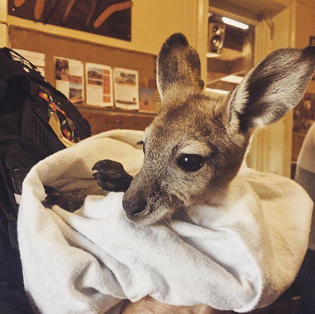Cute rescued baby roo visiting the pub