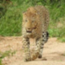 Leopardi_Krugerissä.jpg