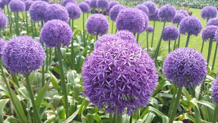 Alliums garden design