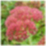 The lovely and very useful #sedum autumn