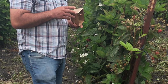 How to pick blackberries