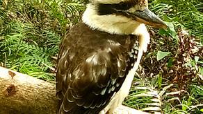 Kookaburra Zazen