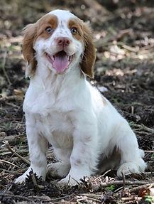 Clumber_Puppy2.jpg