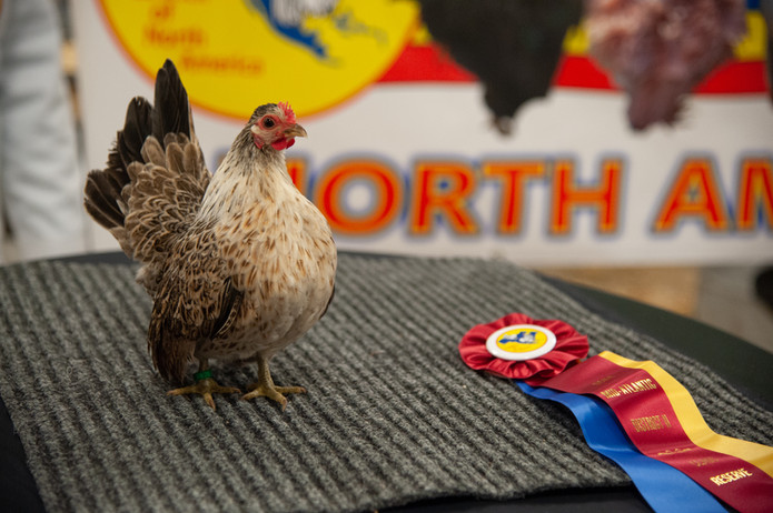 Pullet with ribbon