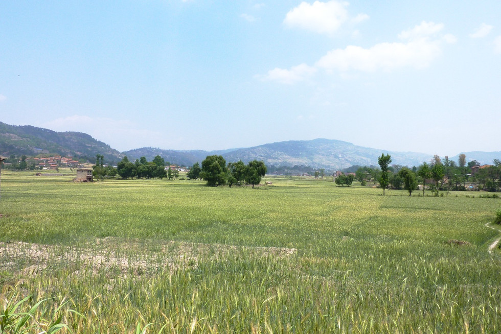バクタプル郊外に広がる、一面の麦畑