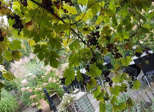 Hmmm... druiven confituur