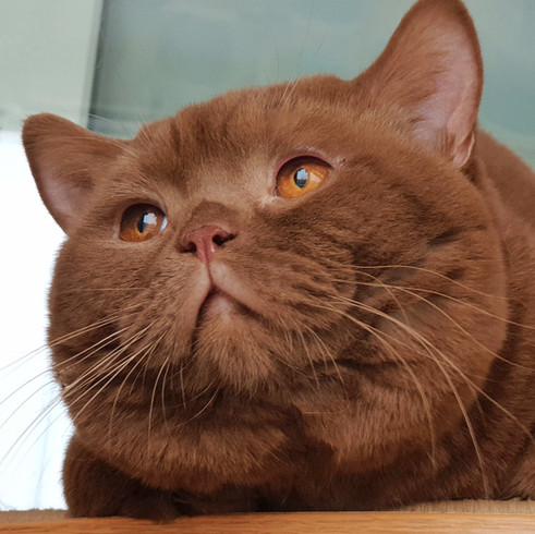 Циннамоновый британский кот ФОРБС