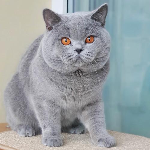 Лакки - голубой британский кот