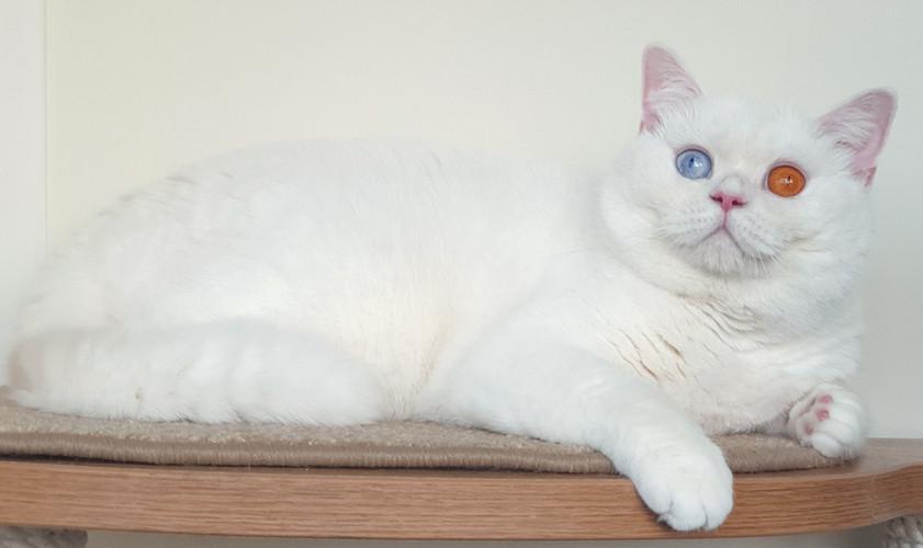 ВАФЛЯ белая британская кошка