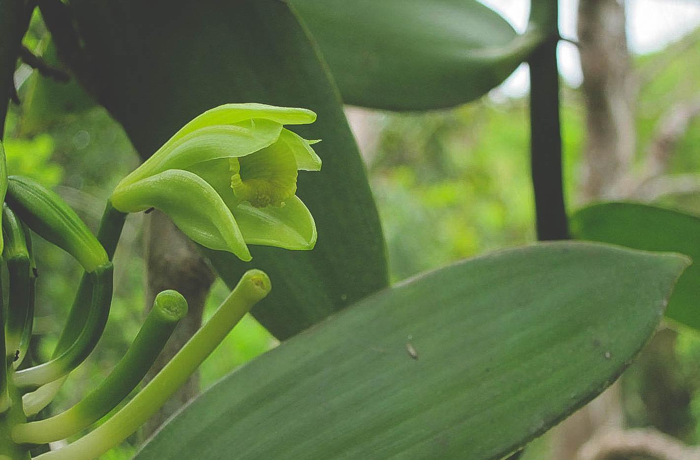 Orchidée Vanilla