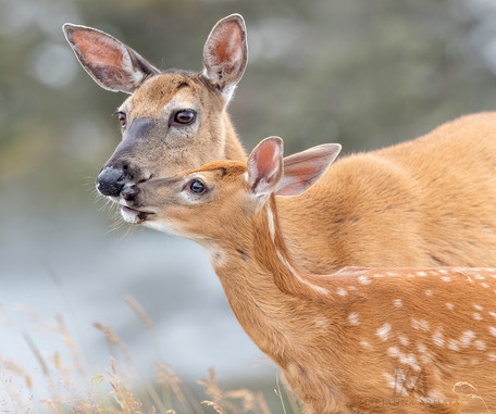 white tail deer nuzzling