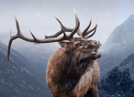 Bugeling Elk