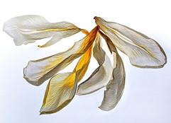 creamy petals