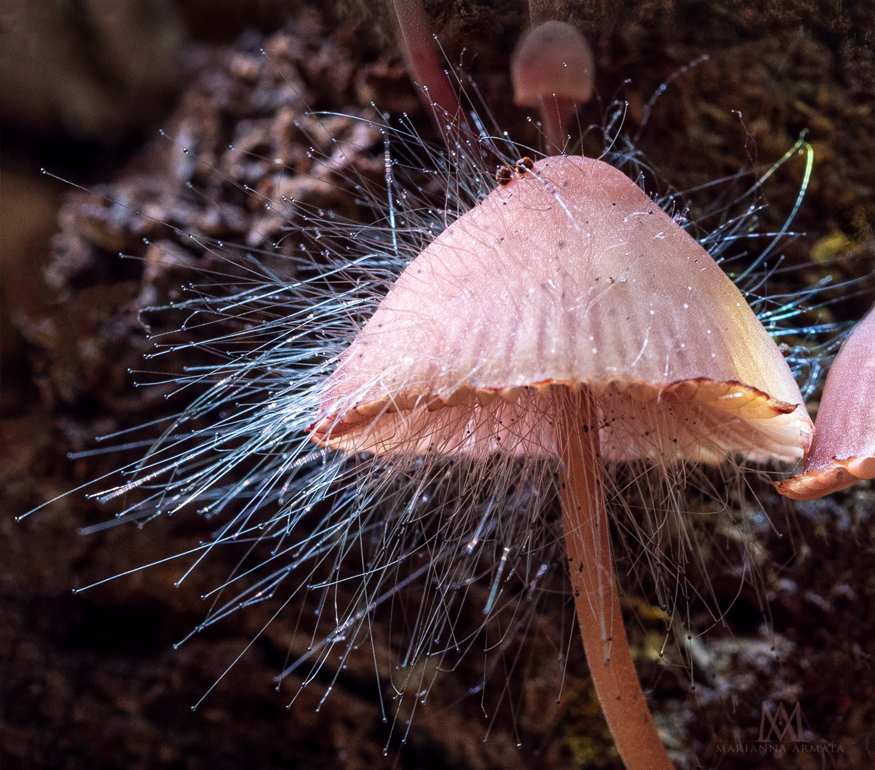 Bleeding mycena + fungus