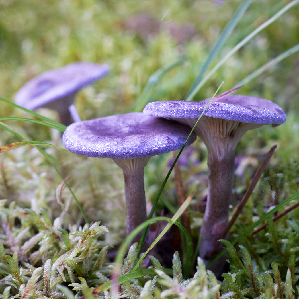 purple shrooms