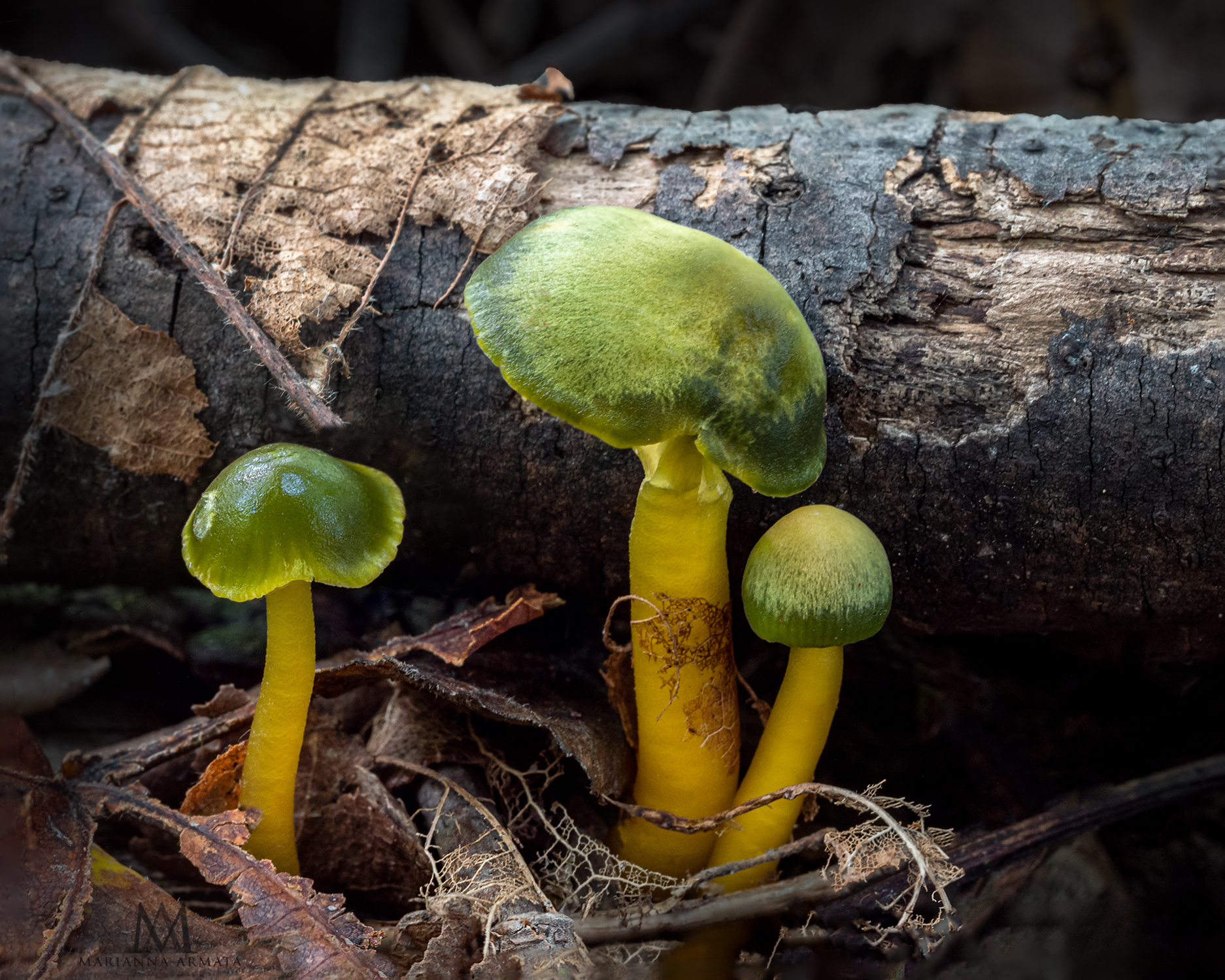 Parrot mushrooms