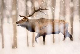 elk in the woods.jpg