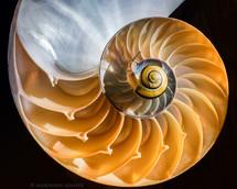 Snail on Nautilus shell