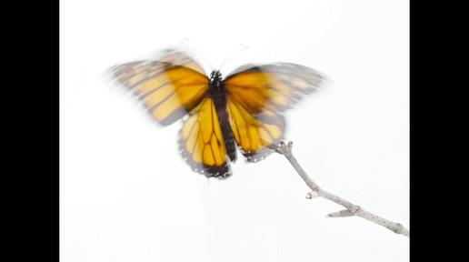 Monarch butterfly metamorphosis