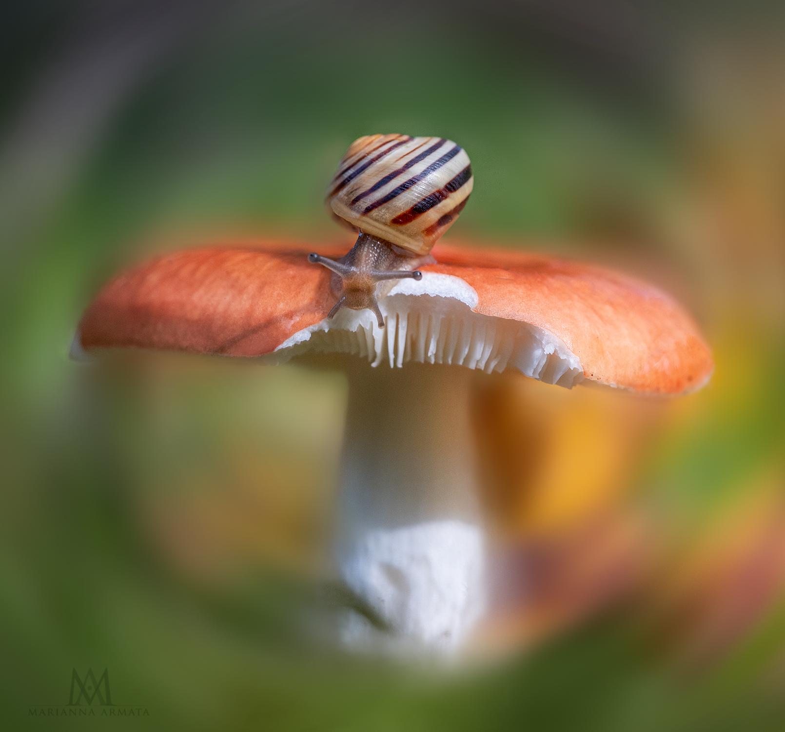 Russula + snail