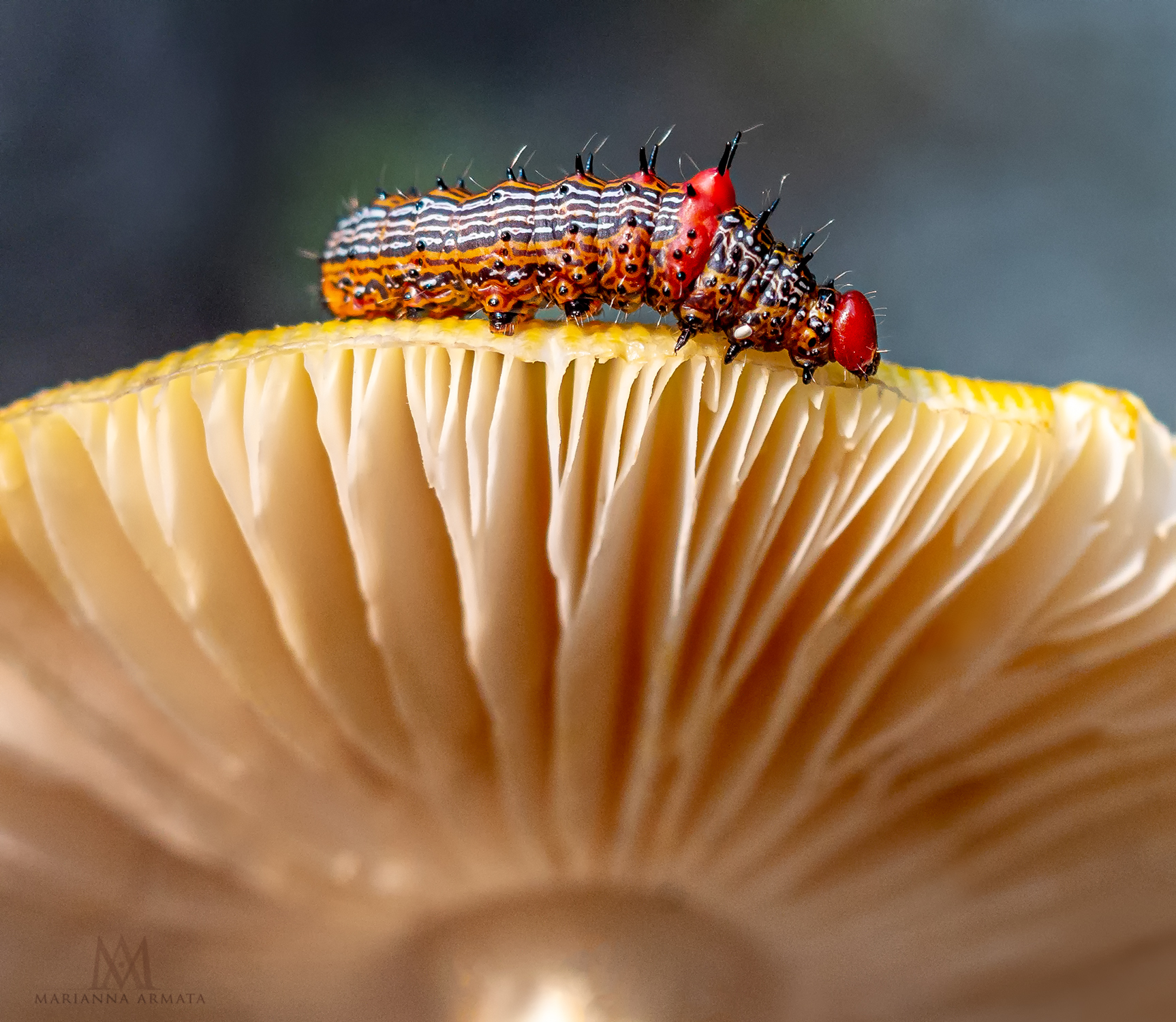 red-humped caterpillar on a toadstool