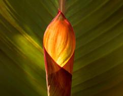 ginger leaf curl