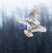 snowy owls' squabble