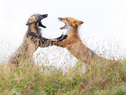 fox brothers playing