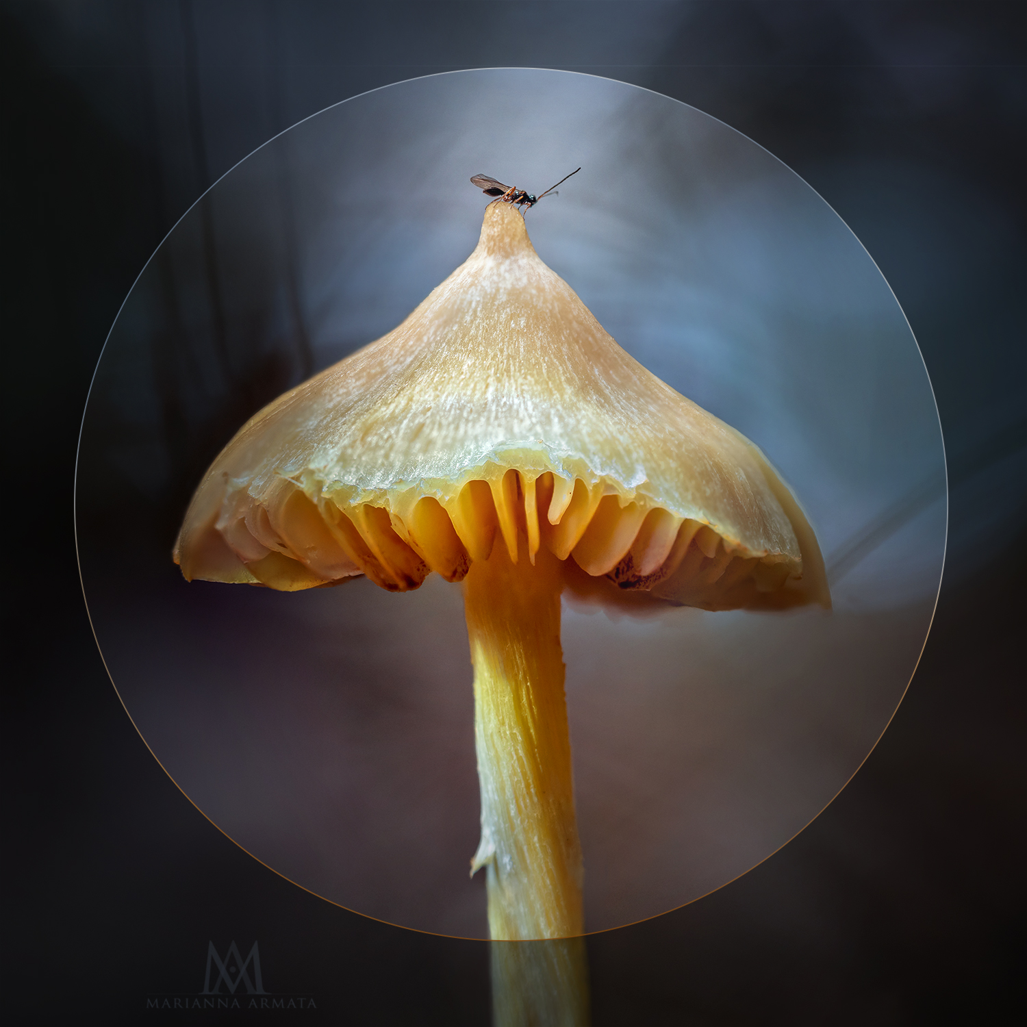 bugendipity on yellow waxcap-LR