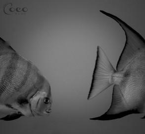 Atlantic Spade Fish Head Tail.jpg