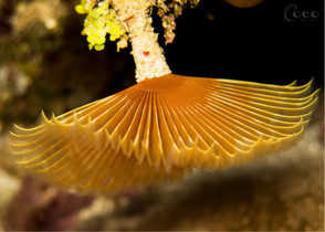 Yellow Feather Duster