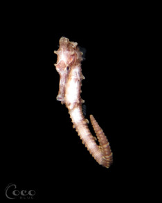 Seahorse.BW08