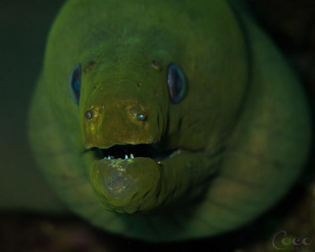 Green Moray Face