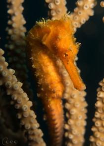 WEW Seahorse Profile