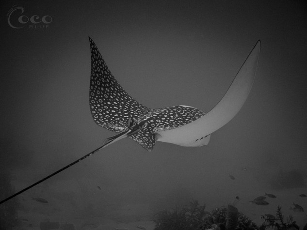 Spotted Eagle Ray Pop