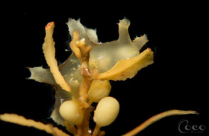 Sargassum Nudibranch2.BW27