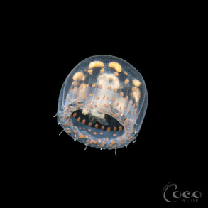 Thimble Jelly.BW11