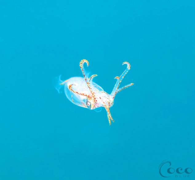 Juvenile Caribbean Reef Squid