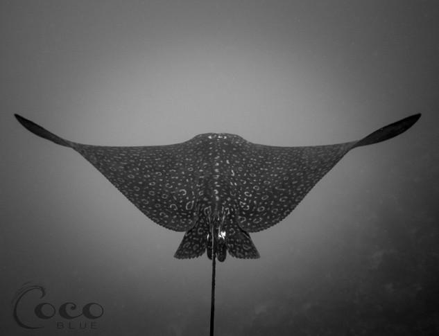 Eagle Ray Symetrical Wings B&W