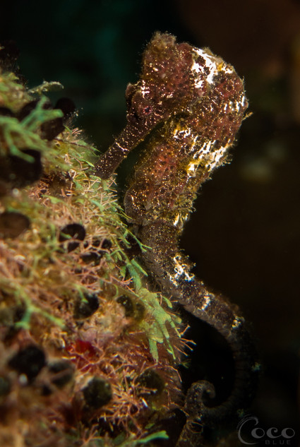 Brown Seahorse Long
