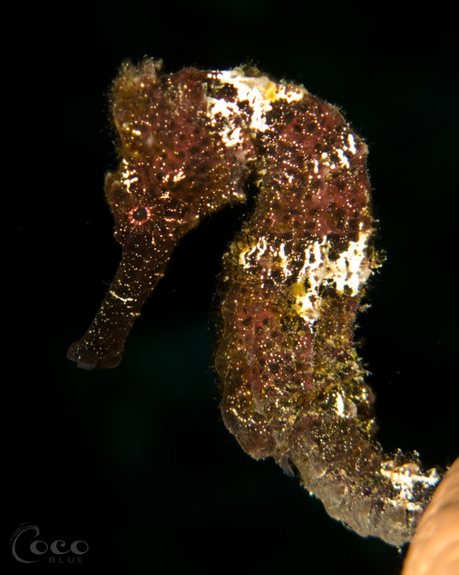 Brown Seahorse Close Profile