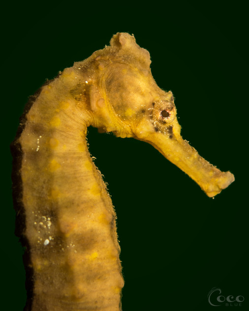 Yellow Seahorse Profile Clean