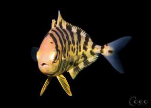 Uknown Juvenile Fish (Front.BW13