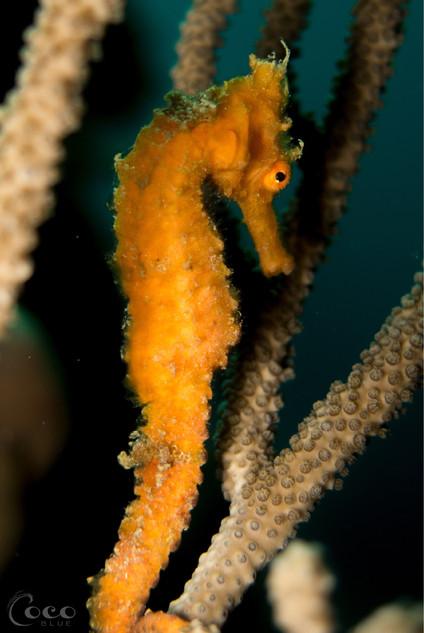 WEW Tri Color Seahorse