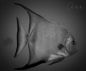 Atlantic Spade Fish Solo