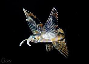 Flying Fish.BW31