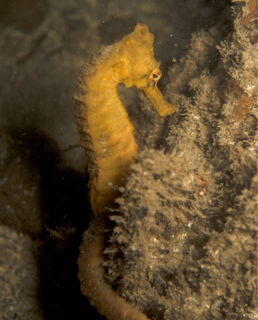 Yellow Seahorse-1